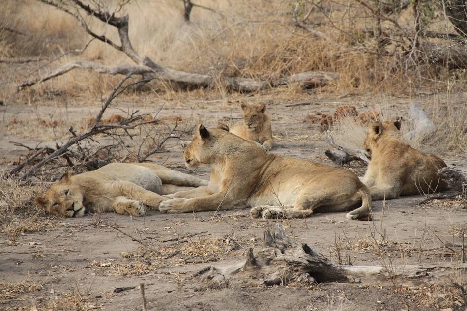 viagensdatalita_jacissabihouse_talitabortolussi_sabisand_safari_áfricadosul_animais_big5 (317)